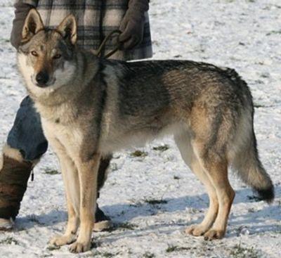croquette chien loup tchecoslovaque