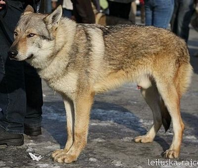 http://dl.wolfdog.org/pics/dbase/15775.jpg