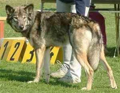 http://dl.wolfdog.org/pics/dbase/5535.jpg