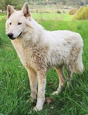http://dl.wolfdog.org/pics/dbase/5537.jpg