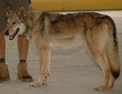 http://dl.wolfdog.org/pics/dbase/5570.jpg