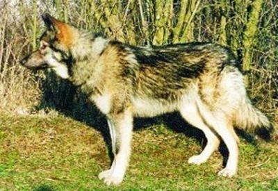 http://dl.wolfdog.org/pics/dbase/5571.jpg