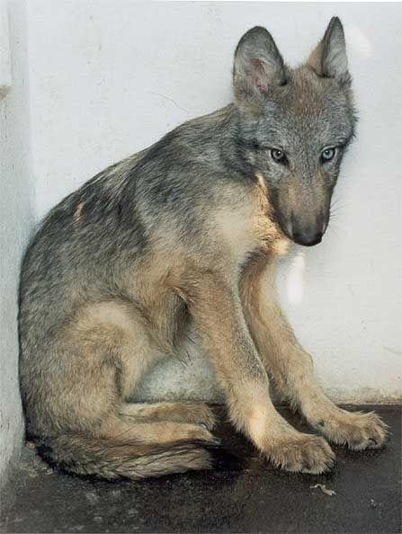 Saarloos wolfhound puppies